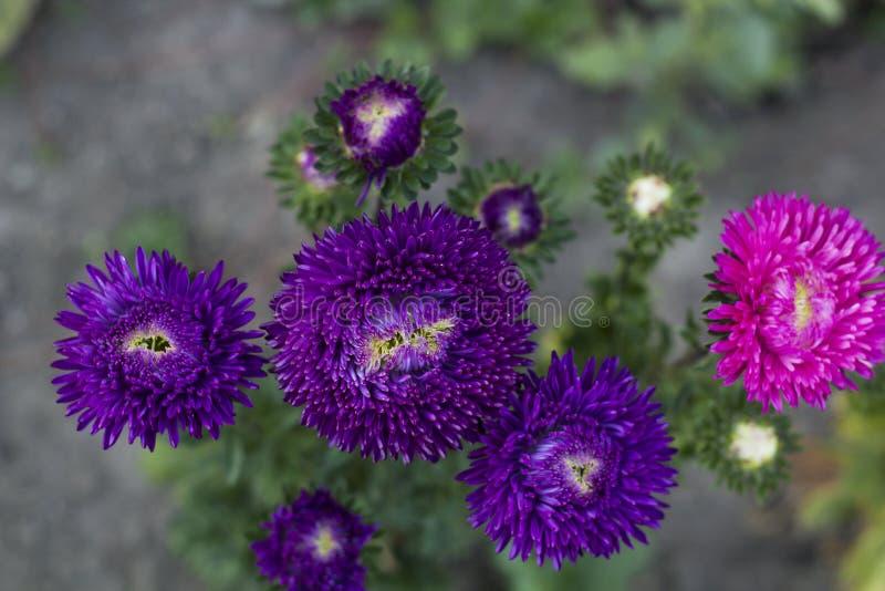 I fiori viola scuri degli aster si sviluppano nel giardino dell'estate, vista superiore immagini stock libere da diritti