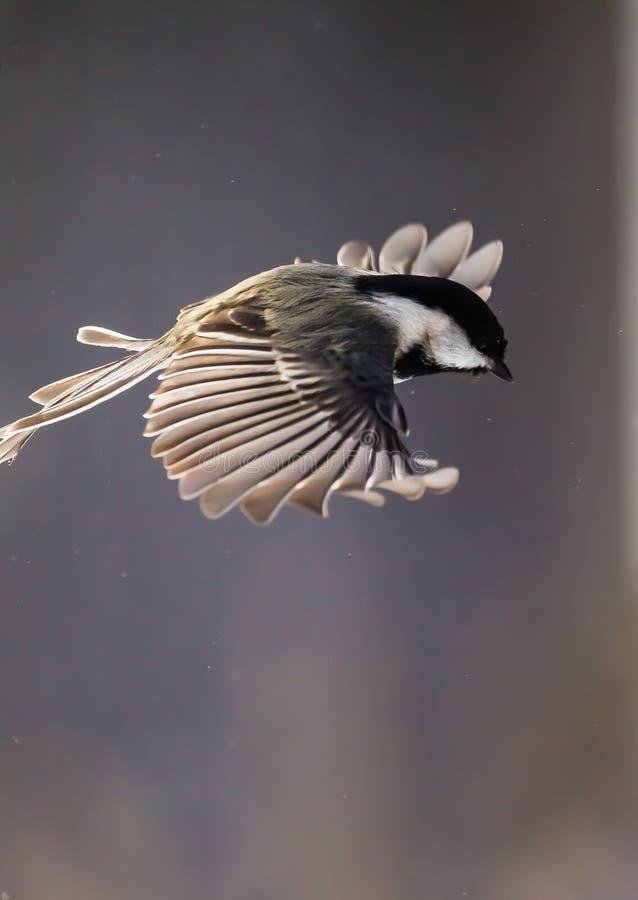 I flykten med vingspead som fångar den luft arkivfoto