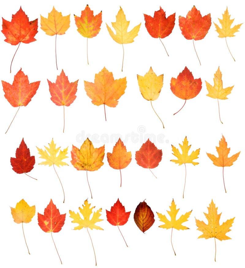 I fogli di autunno giallo arancione rossi della quercia dell'acero hanno isolato immagine stock libera da diritti