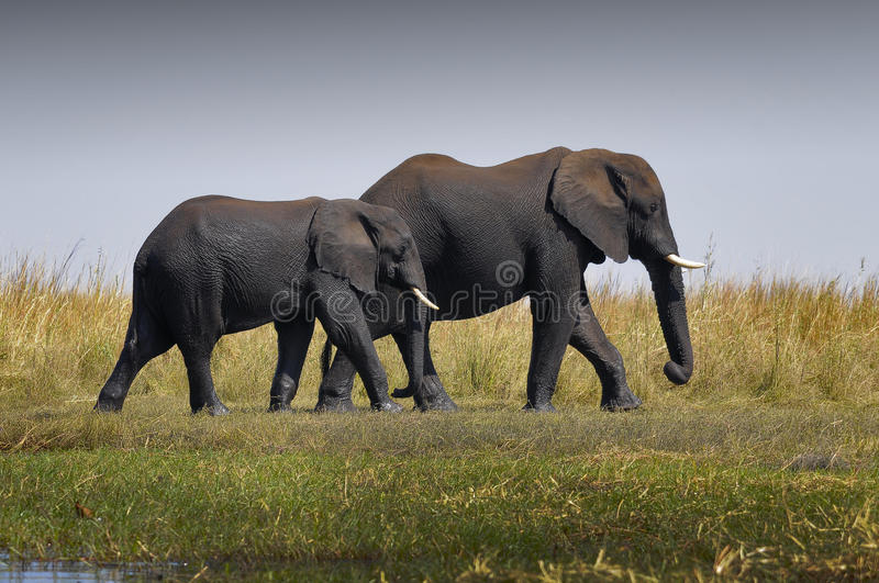 I follow you. This picture it was taken in Chobe national park, Botswana stock photo