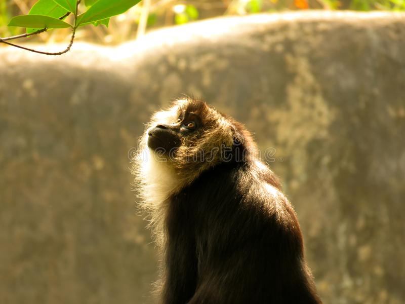 Overthinking of a cute monkey. I found this cute monkey in a zoo, he is thinking about his future royalty free stock photography