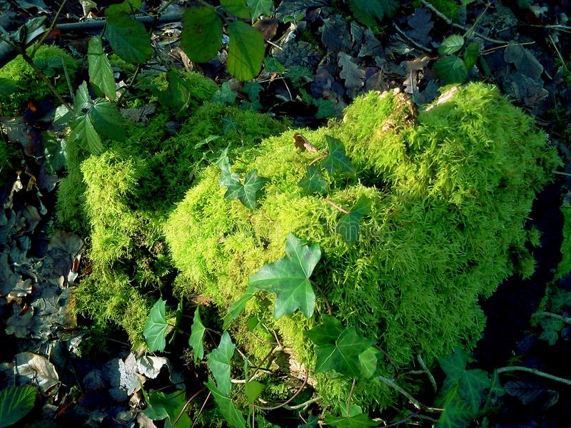 Some moss and green leaves. I found this moss with green leaves in its top when I was walking into the woods Windsor, UK stock images
