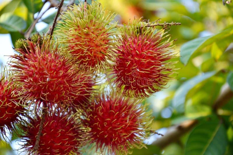 I friuts tropicali con capelli hanno chiamato il rambutan fotografia stock