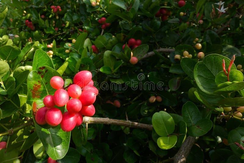 I frutti del ` del ` del ` fresco di Karanda o di Carunda del ` hanno molta vitamina C ed hanno proprietà come erba fotografia stock libera da diritti