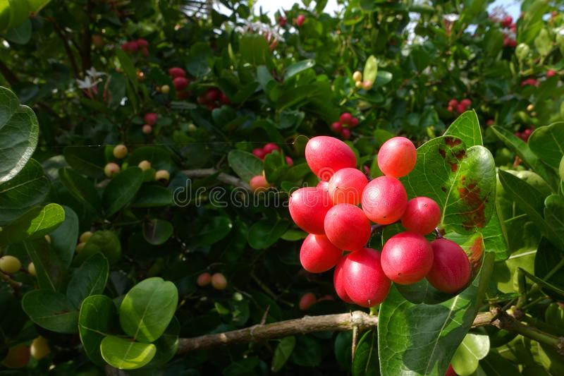 I frutti del ` del ` del ` fresco di Karanda o di Carunda del ` hanno molta vitamina C ed hanno proprietà come erba immagini stock libere da diritti