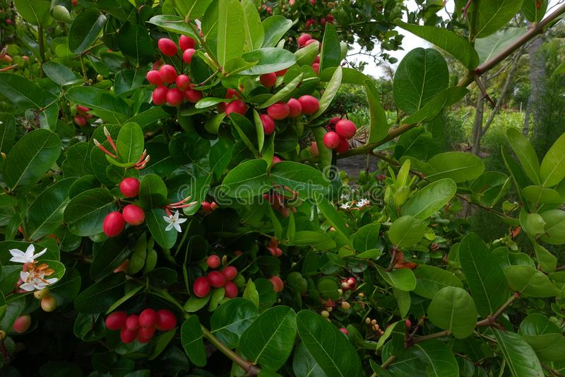 I frutti del ` del ` del ` fresco di Karanda o di Carunda del ` hanno molta vitamina C ed hanno proprietà come erba fotografie stock libere da diritti