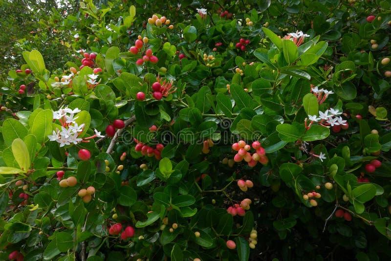 I frutti del ` del ` del ` fresco di Karanda o di Carunda del ` hanno molta vitamina C ed hanno proprietà come erba immagini stock
