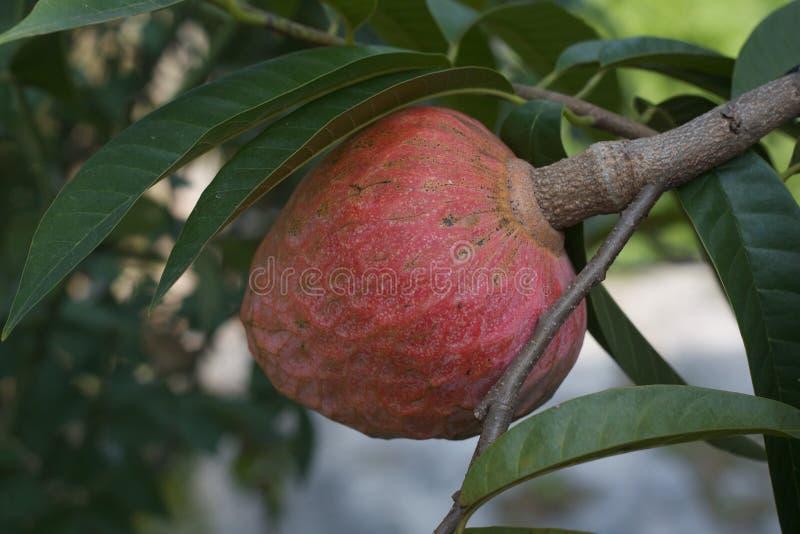 I frutti di Mulwo maturano negli alberi pronti ad essere selezionato immagine stock