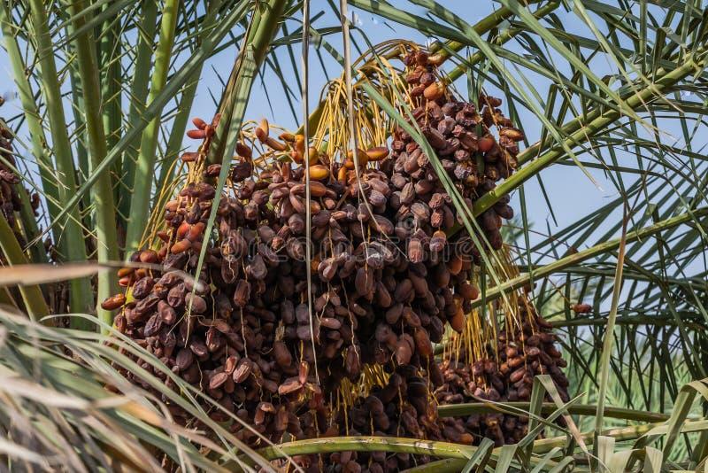 I frutti di una palma da datteri immagini stock