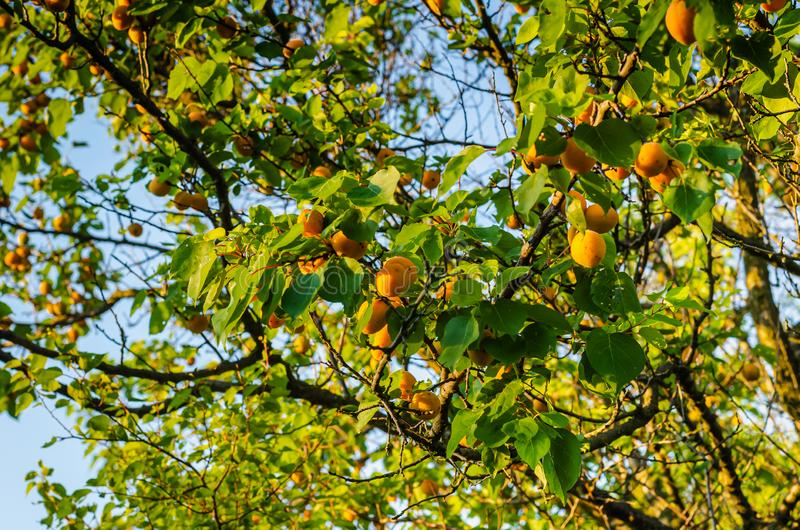 I frutti maturi delle albicocche appendono sui rami Fucilazione su dal cielo fotografia stock libera da diritti