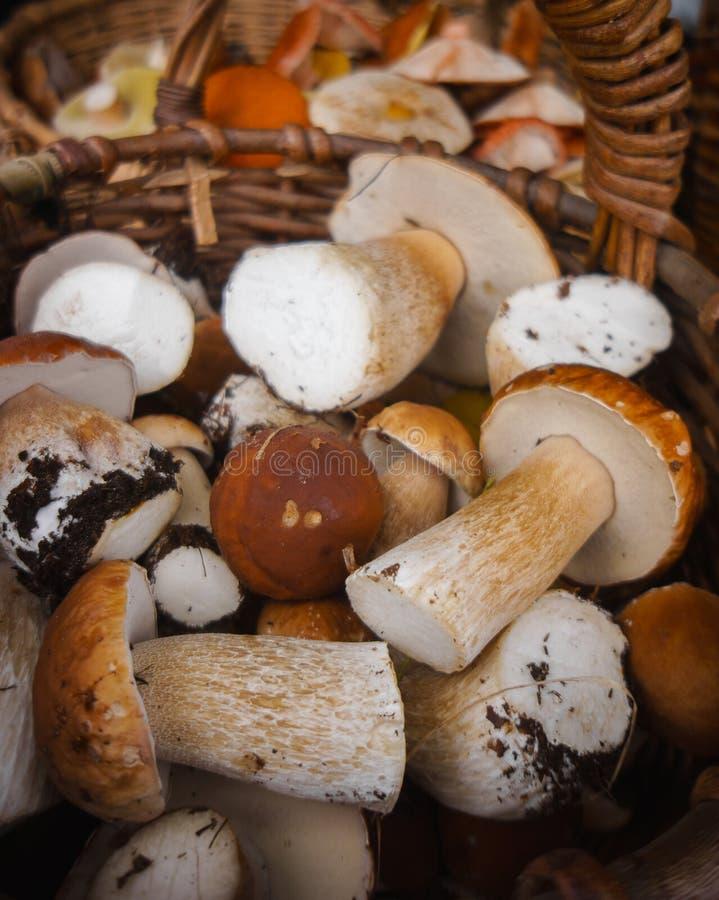 I funghi bianchi freschi dalla foresta molto fungo fruttifica nel canestro fotografia stock libera da diritti