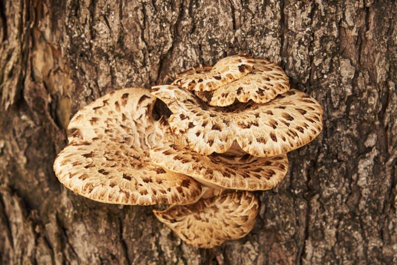 I funghi dei parassiti si sono sviluppati sul tronco di un albero fotografia stock