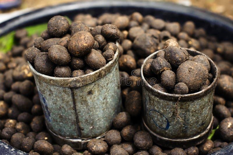 I funghi della palla del soffio è un fungo nella parte settentrionale della Tailandia, crescente una volta all'anno fotografia stock