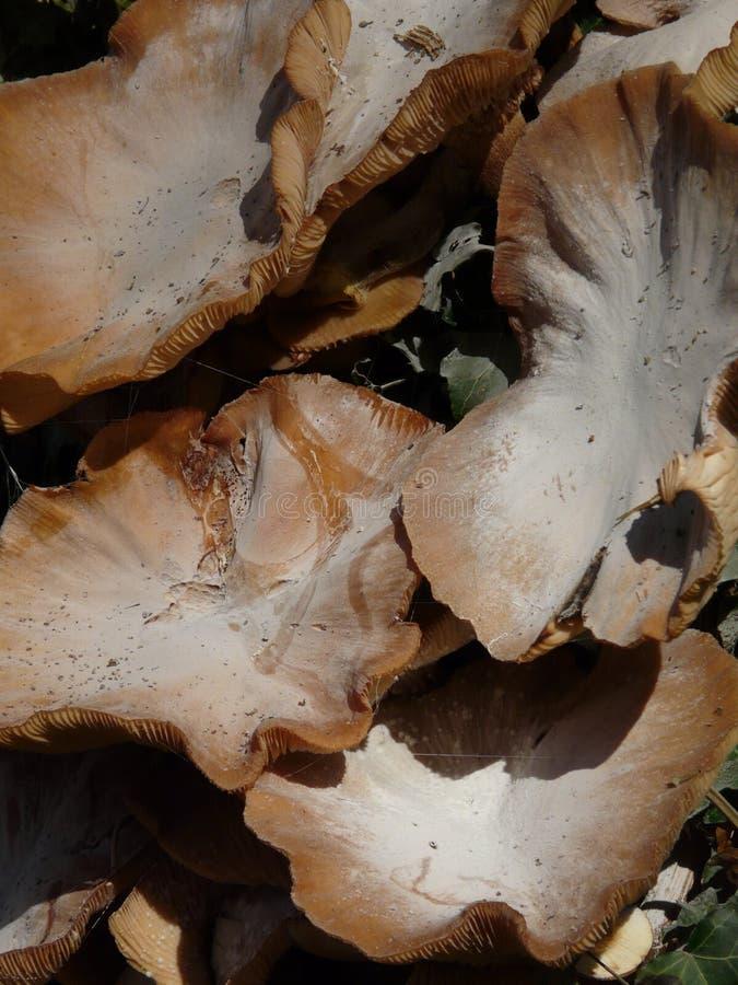 I funghi di scaffale hanno spolverato con le spore in Dorset, Inghilterra fotografie stock