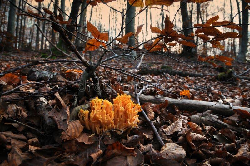 I funghi, hanno chiamato il aurea di Ramaria nella foresta durante la stagione di autunno, Italia fotografie stock