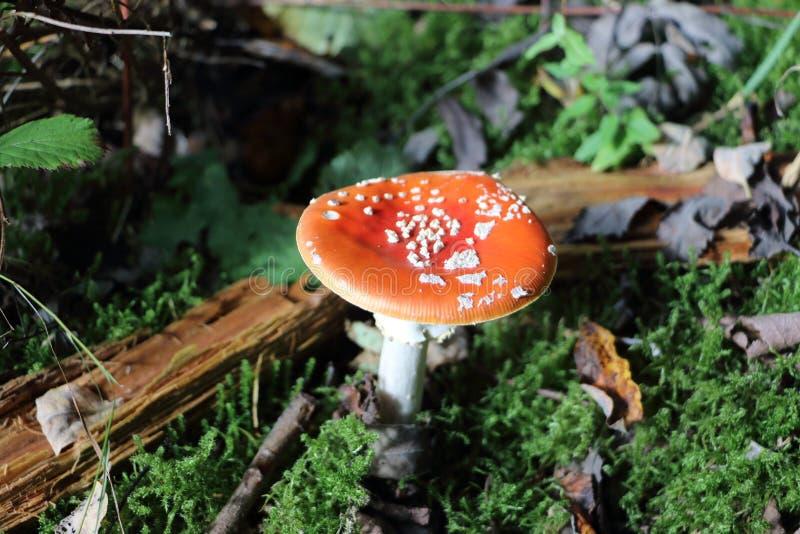 I funghi rossi ed i punti bianchi pilotano l'agarico fotografie stock libere da diritti