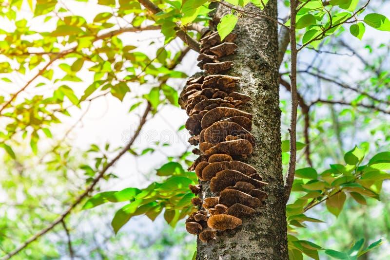 I funghi si sviluppano sull'albero nel parco nazionale di Tokyo, Ja di sakura immagini stock libere da diritti