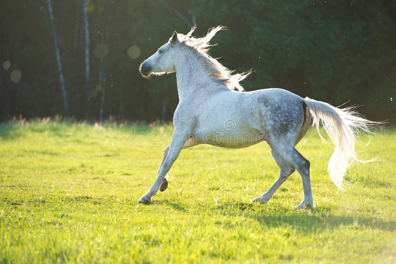 I funzionamenti arabi bianchi del cavallo galoppano alla luce del tramonto immagine stock libera da diritti