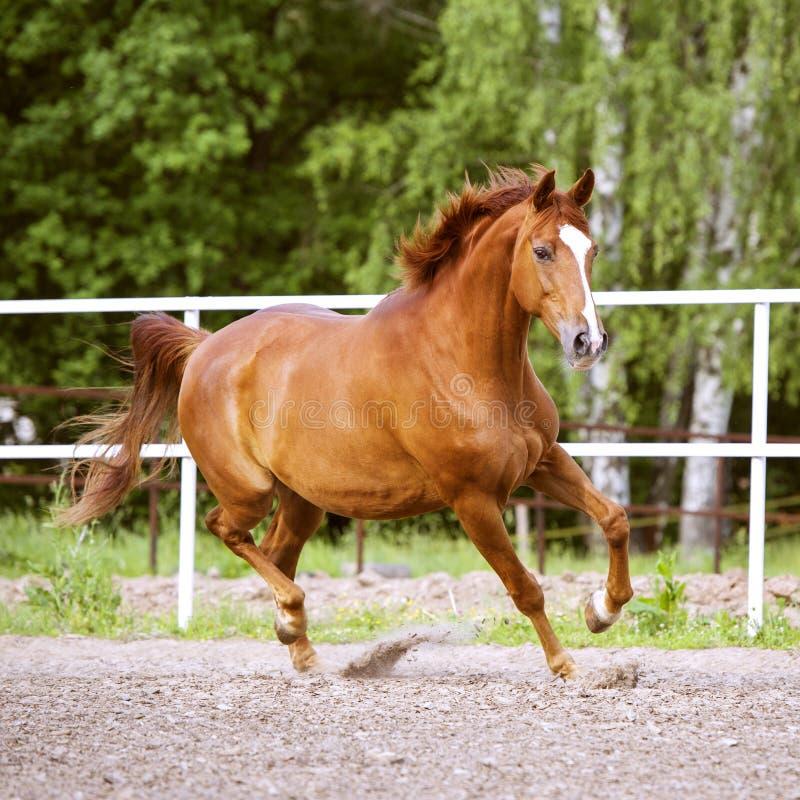 I funzionamenti rossi del cavallo di Trakehner trottano sui precedenti verdi fotografia stock