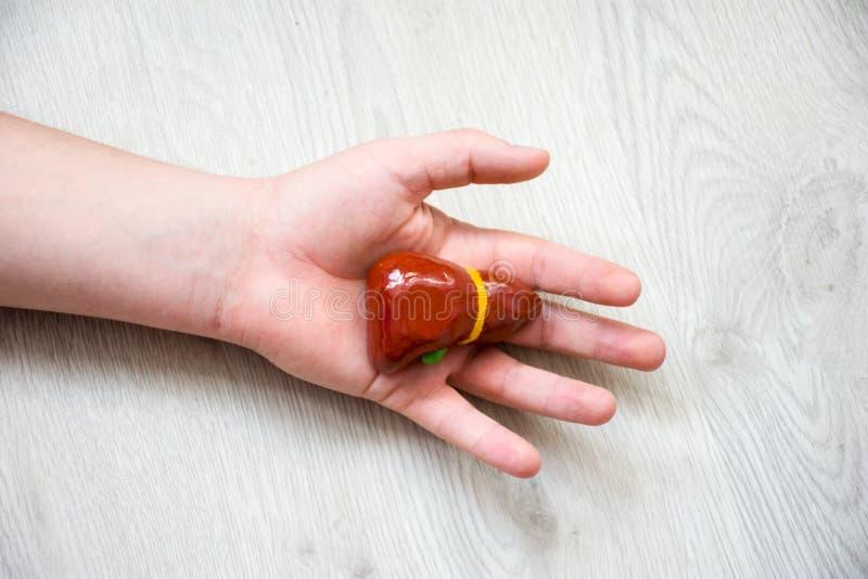 I gömma i handflatan av handen som ligger på trägolv, är den anatomisk modellen av lever eller hepar Begreppsfoto som visar lever royaltyfria foton