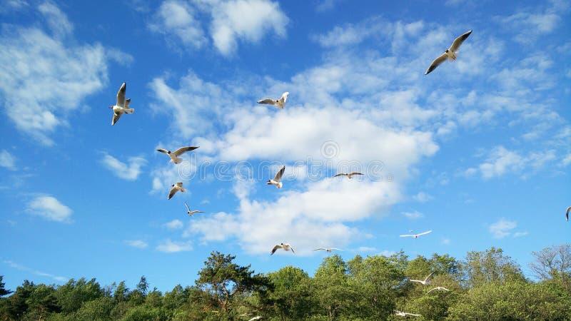 I gabbiani bianchi degli uccelli salgono nel cielo immagine stock