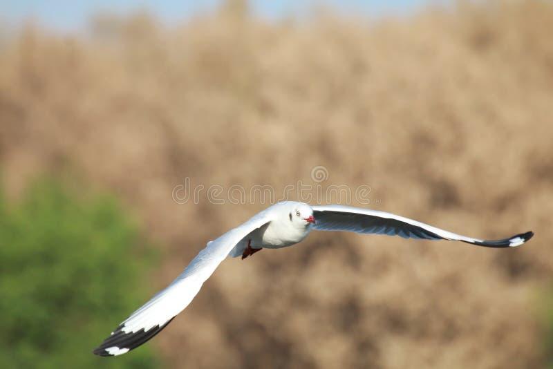 I gabbiani sta volando I gabbiani volano nella foresta fotografia stock libera da diritti