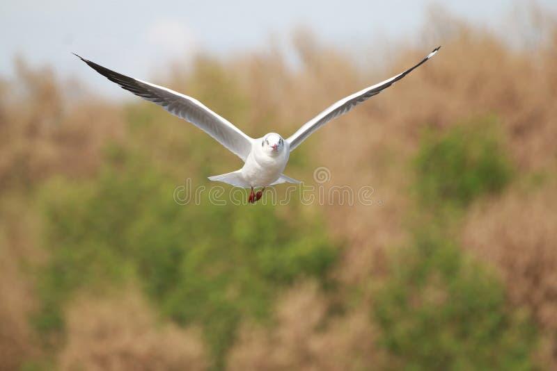 I gabbiani sta volando I gabbiani volano nella foresta fotografie stock libere da diritti