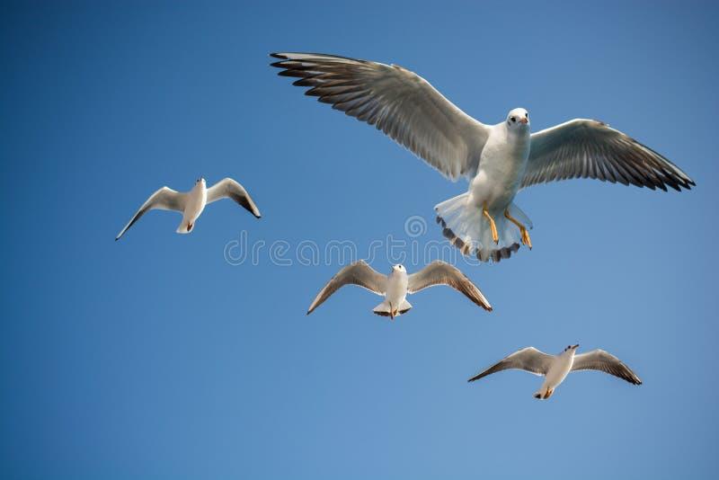 I gabbiani stanno volando in un cielo fotografia stock