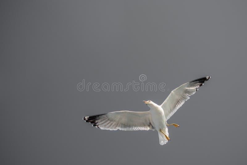 I gabbiani stanno volando in un cielo immagini stock libere da diritti