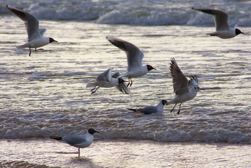 I gabbiani volano alla spiaggia baltica fotografie stock libere da diritti