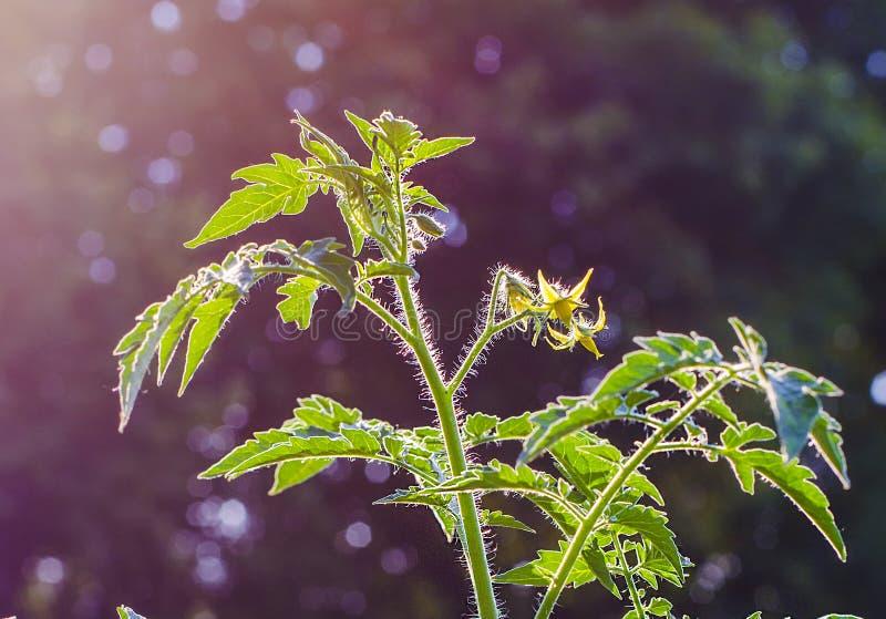 I gambi coltivano i pomodori immagine stock