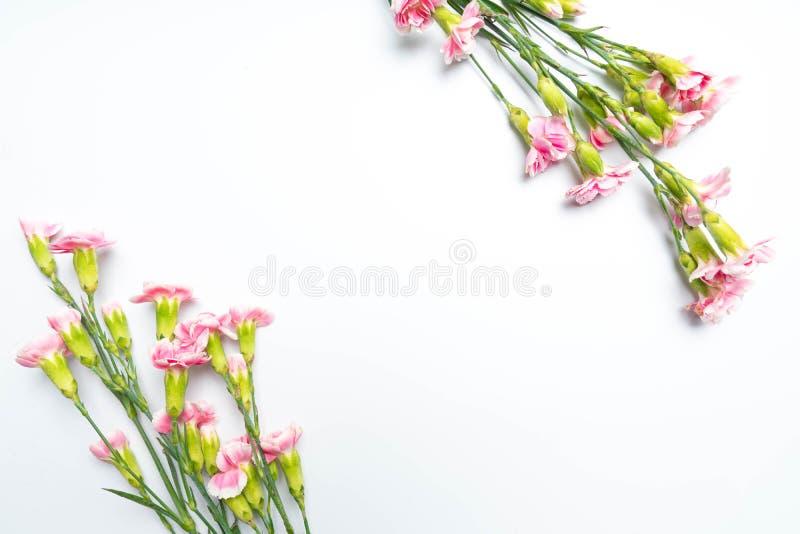 i garofani rosa fioriscono per su bianco fotografia stock
