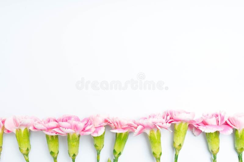 i garofani rosa fioriscono per su bianco fotografie stock