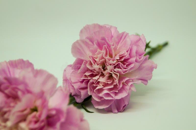 I garofani rosa hanno isolato il fondo bianco fotografia stock