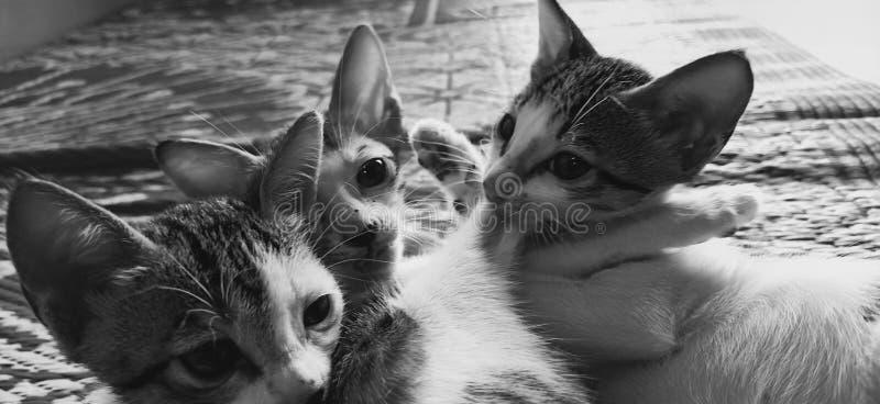 I gatti mangiano il cibo per gatti fotografia stock libera da diritti