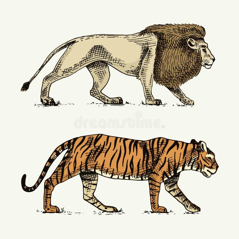 I gatti selvaggi hanno messo, leone e tigre incisa disegnati a mano nel vecchio stile di schizzo, animali d'annata illustrazione vettoriale