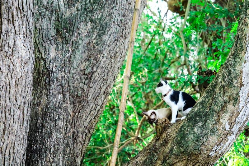 I gatti siamesi scalano gli alberi per prendere gli scoiattoli Ma non può clim immagine stock