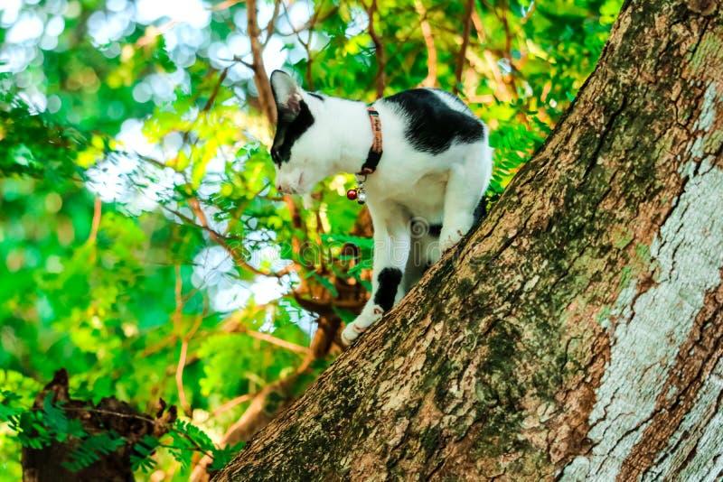 I gatti siamesi scalano gli alberi per prendere gli scoiattoli Ma non può scendere immagine stock libera da diritti