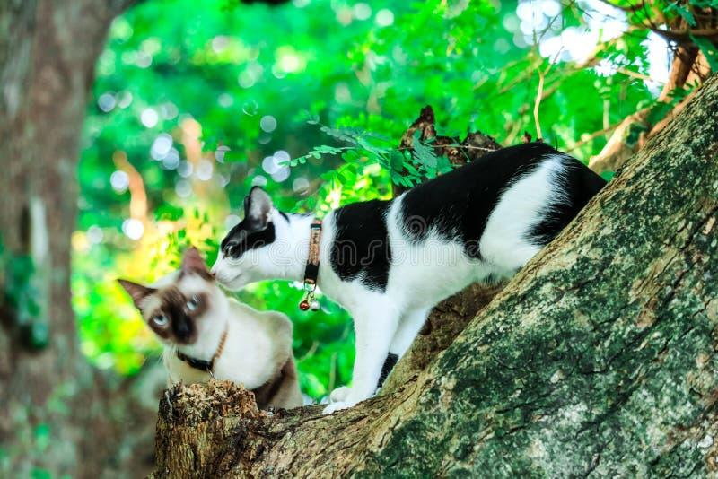 I gatti siamesi scalano gli alberi per prendere gli scoiattoli Ma non può scendere immagini stock libere da diritti