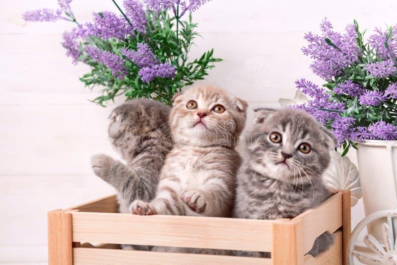 I gattini scozzesi stanno giocando in una scatola di legno Fiori della lavanda nei precedenti immagini stock