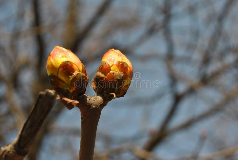 I germogli del ramo di castagno, si chiudono sul dettaglio, sul giorno soleggiato della molla, sui rami confusi e sul fondo del c fotografie stock