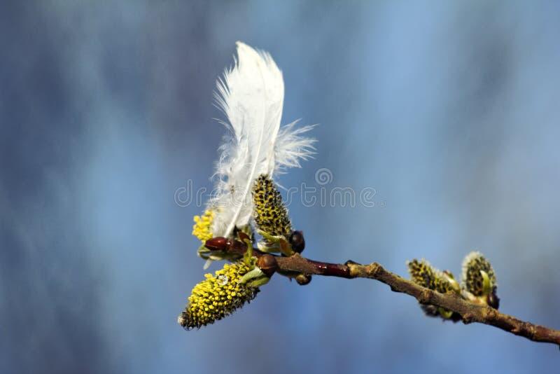 I germogli del salice della primavera e la piuma bianca del salice grouse fotografia stock libera da diritti