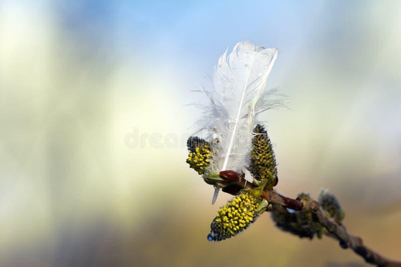 I germogli del salice della primavera e la piuma bianca del salice grouse immagine stock libera da diritti