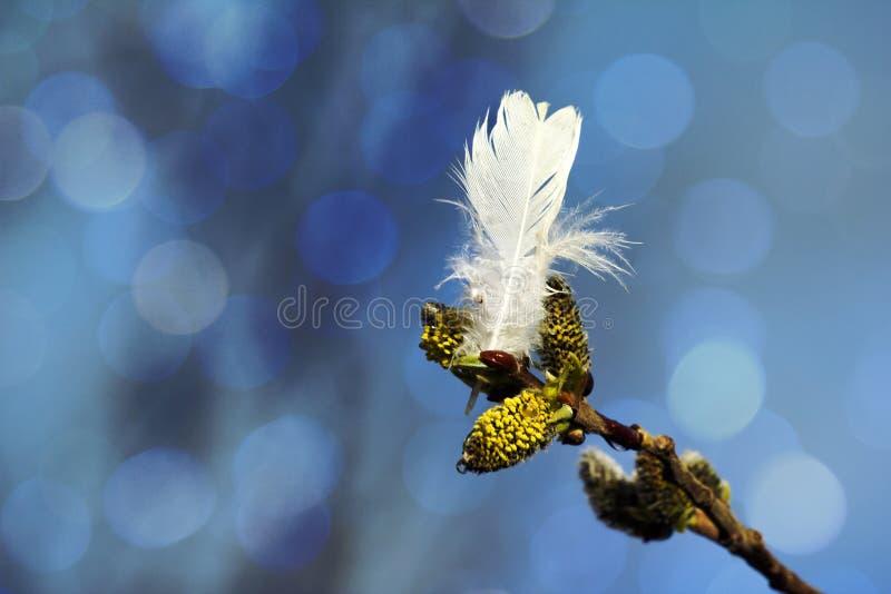 I germogli del salice della primavera e la piuma bianca del salice grouse fotografia stock