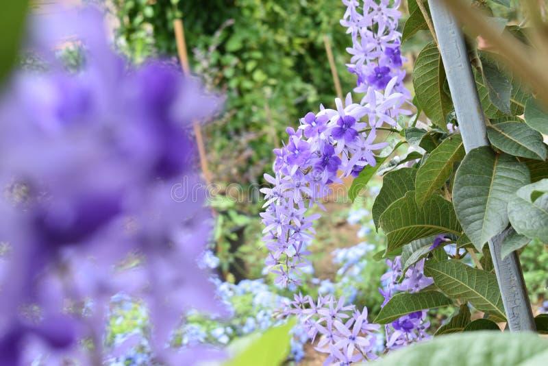 I germogli di fiore è blu di colore fotografia stock libera da diritti