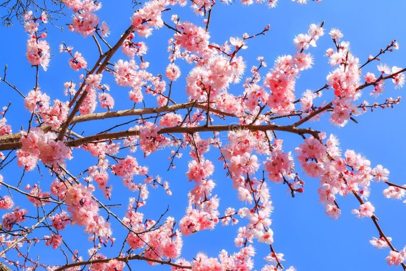 I germogli e le inflorescenze di bei fiori di sakura o fioritura e fiore del ciliegio durante la molla che fiorisce contro la a fotografie stock