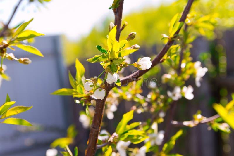 I germogli ed il giovane va sul primo piano del tronco del ciliegio Particolare nell'albero Fuoco selettivo Ciao aprile fotografia stock