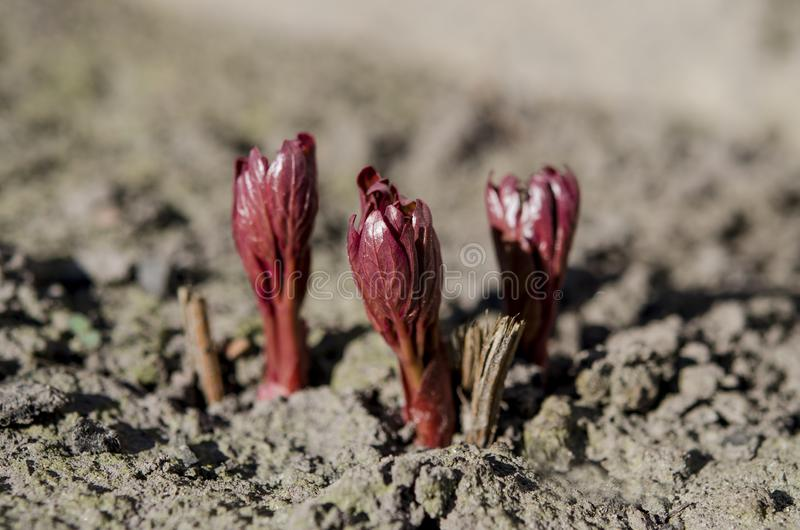 I germogli luminosi del cespuglio della peonia si sviluppano in un giardino del letto in primavera nei raggi del sole della molla fotografia stock