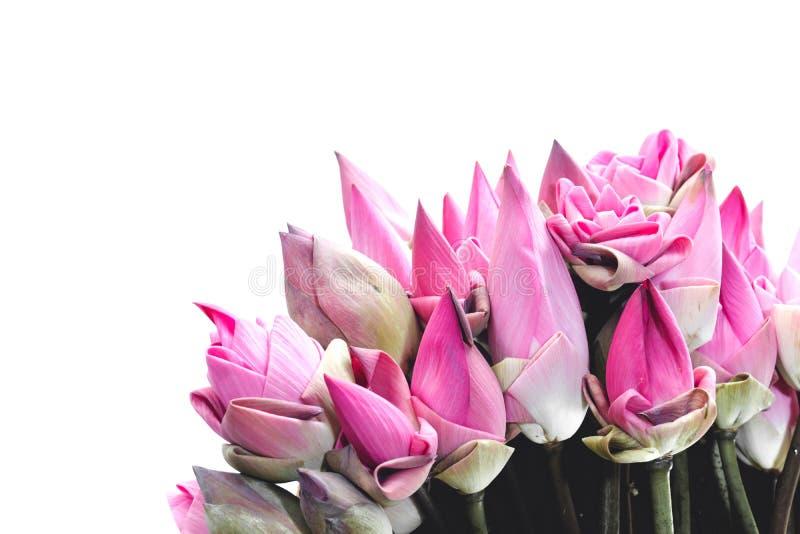 I germogli rosa freschi del loto hanno offerto ai credenti isolati su bianco fotografie stock