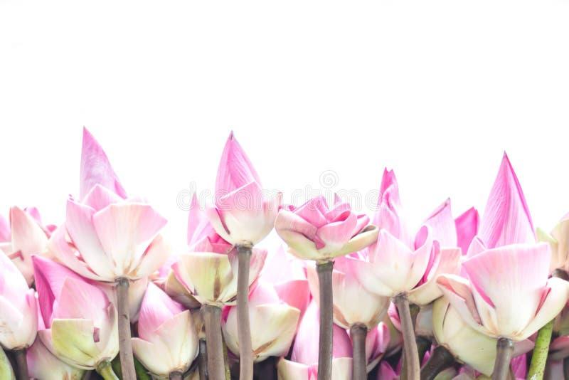I germogli rosa freschi del loto hanno offerto ai credenti isolati su bianco immagini stock